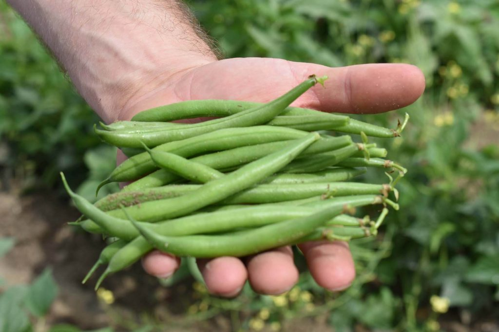 Green Beans in hand