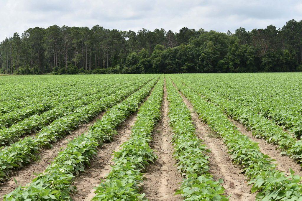 Green Bean Field